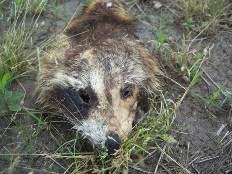 age of this (dead) raccoon (WARNING - image)-100_8683.jpg