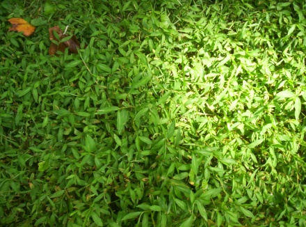 What Lawn Weed is this ?-101_0163.jpg