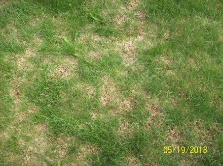 what happened - lawn dying in areas-103_0104.jpg