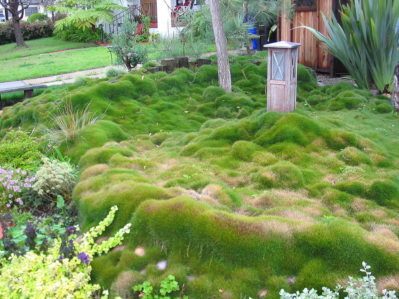 Is zoysia the answer?-1280px-zoysia_grass_in_san_diego_california_02-2005.jpg