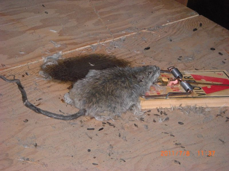 Why so many people don't care about rats?-20110708-dead-rate-attic-2s.jpg