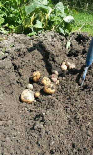 Trash Can Kennebec Potatoes in Zone 6-2012-08-18-12.44.51.jpg
