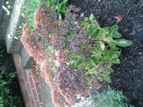 Sedum turning black and dying?-20121003_071327.jpg