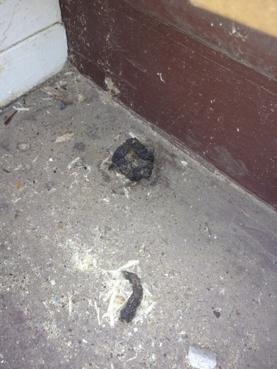 Raccoon feces?-2013-05-08-17.59.41.jpg