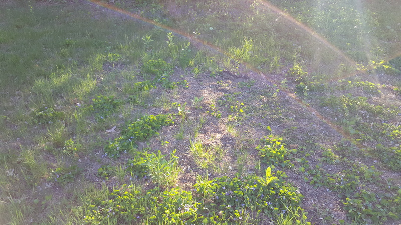 Where do I even start with my lawn.-2015-05-21-19.05.22.jpg