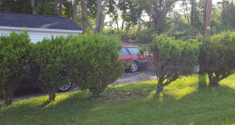 Is this shrub gone?-2016-05-31-17.55.05.jpg