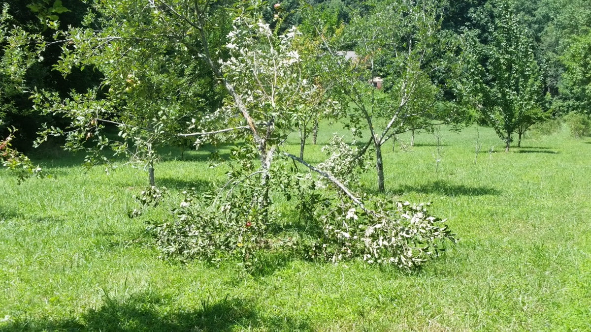 What happened to the apples?-20160801_152354.jpg
