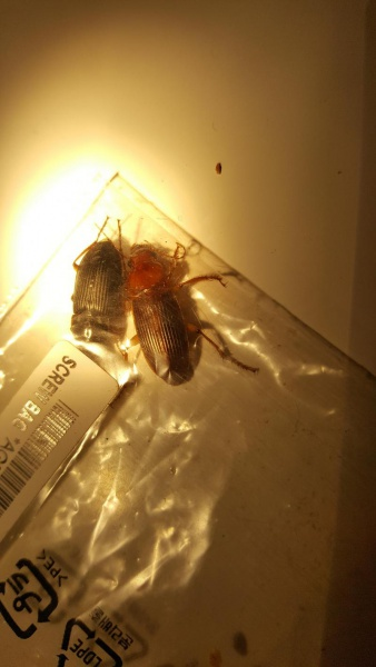 Cockroach Identification-20161011_195840_1476234889269.jpg