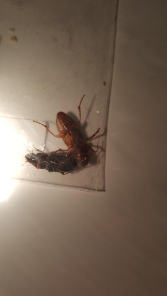Cockroach Identification-20161011_195850_1476234865478.jpg