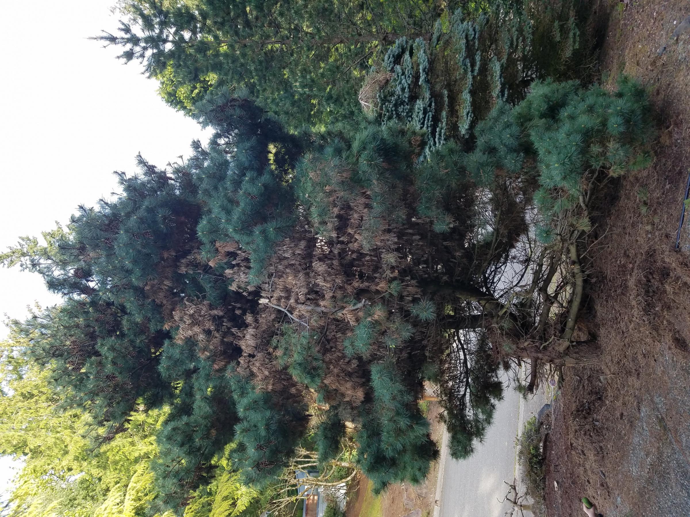 Trim pine tree-20190504_180541.jpg