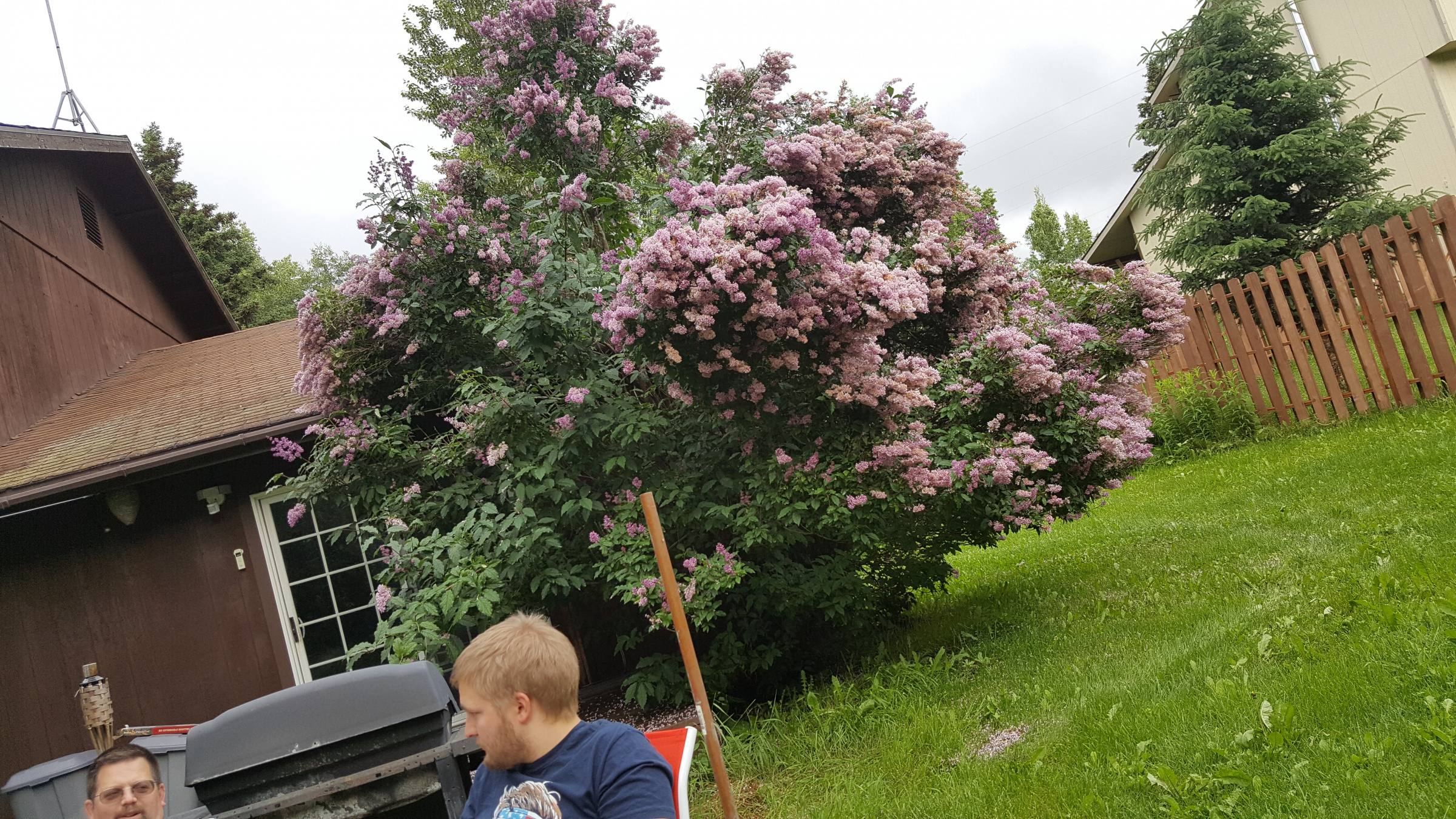 Pleaching very mature lilac - To graft, or not to graft?-20190608_175555.jpg