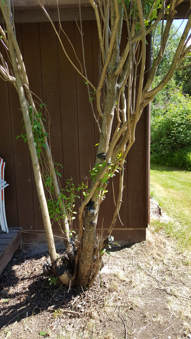 Pleaching very mature lilac - To graft, or not to graft?-20190610_135759sm.jpg
