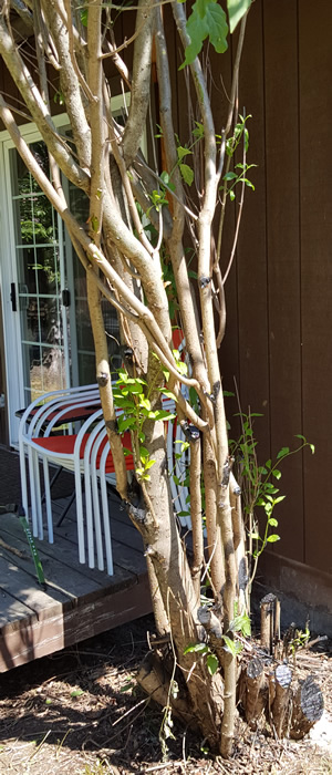 Pleaching very mature lilac - To graft, or not to graft?-20190610_135807zoom.jpg