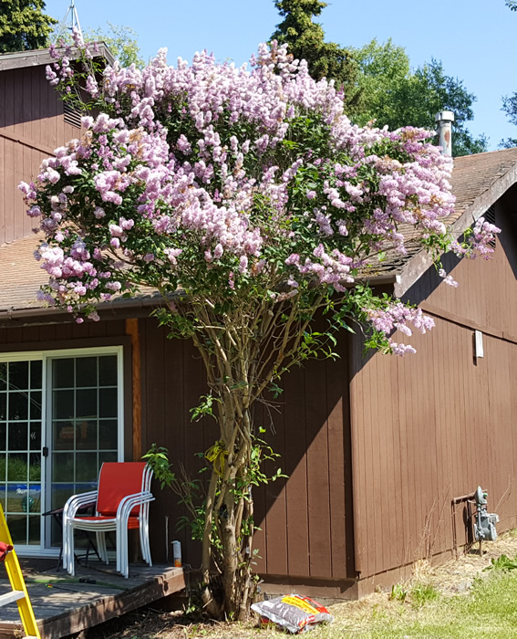 Pleaching very mature lilac - To graft, or not to graft?-20190623_150042sm.jpg