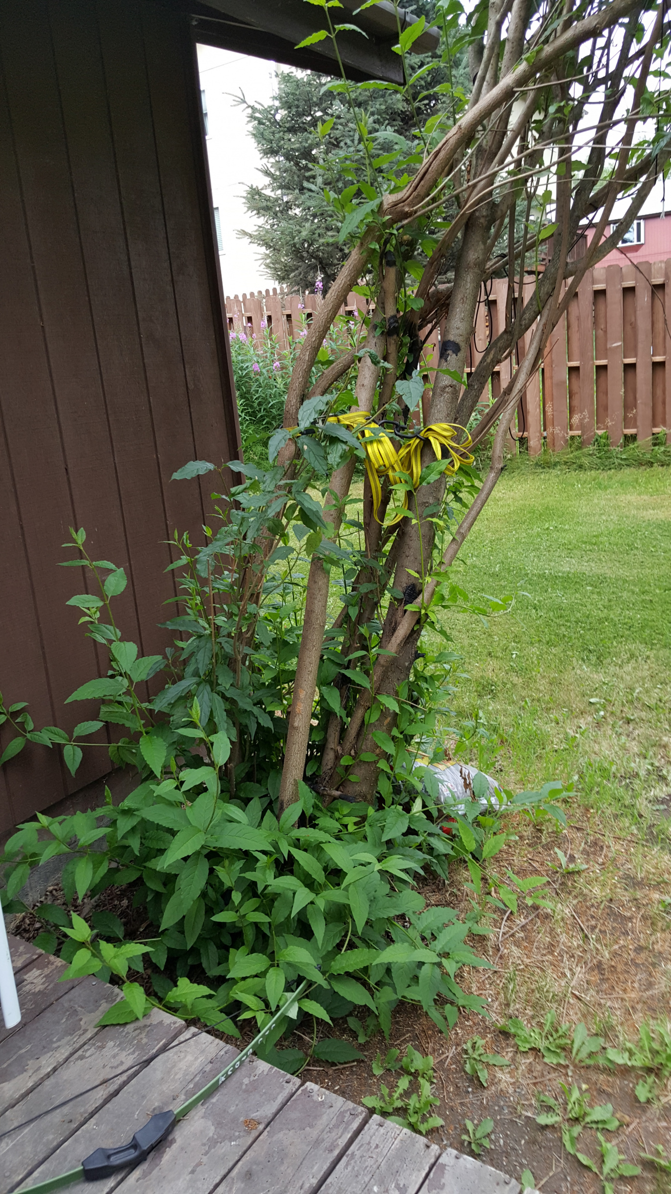 Pleaching very mature lilac - To graft, or not to graft?-20190720_124104.jpg