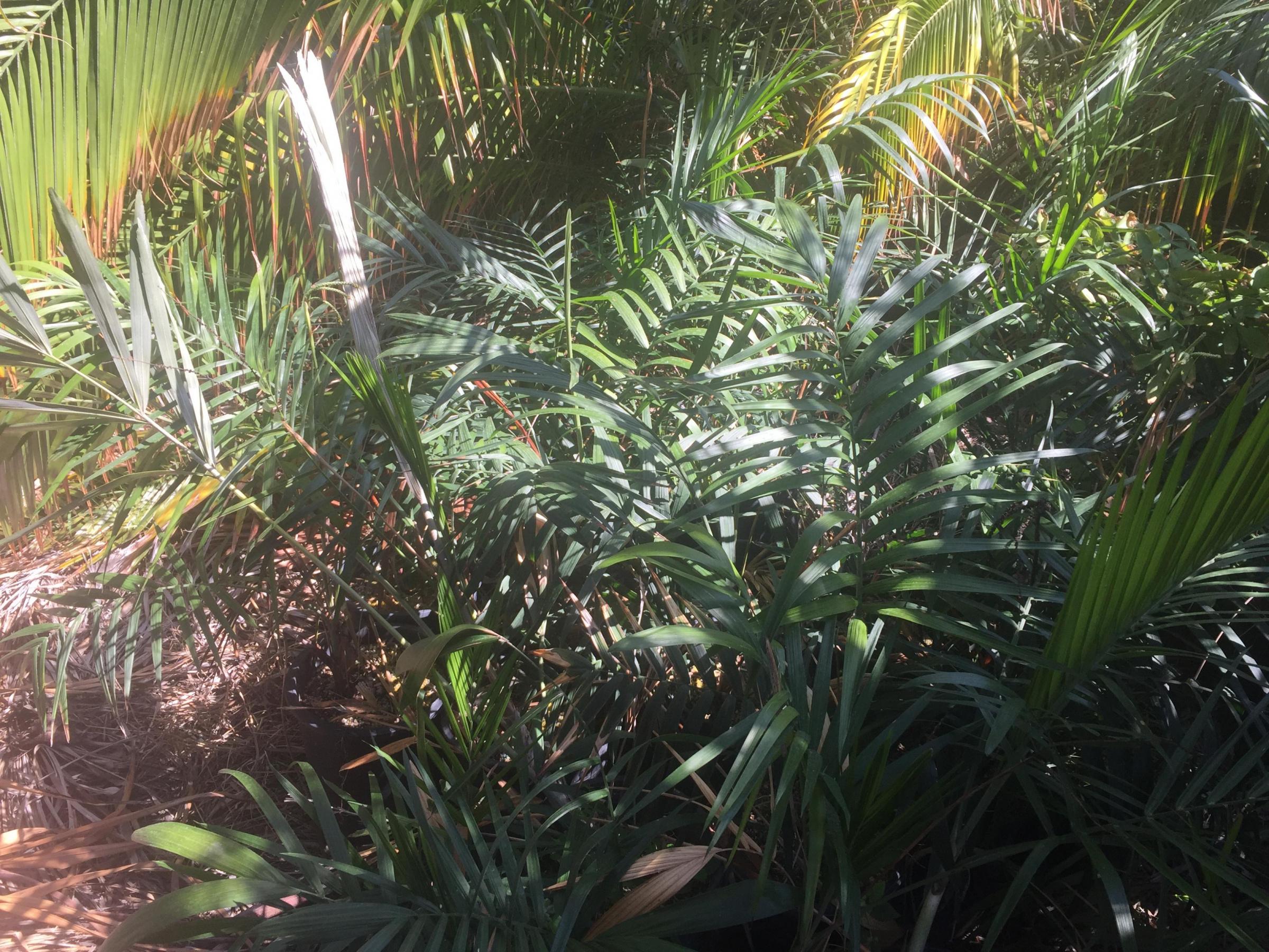 Free palm tree seeds-2b47632f-5c97-4198-b74f-d3d8eedbaa66_1570068936333.jpg