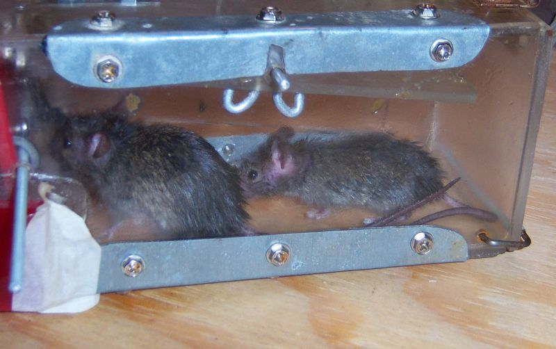 Yes Dear, I'll build you a better mousetrap....-2mice.jpg