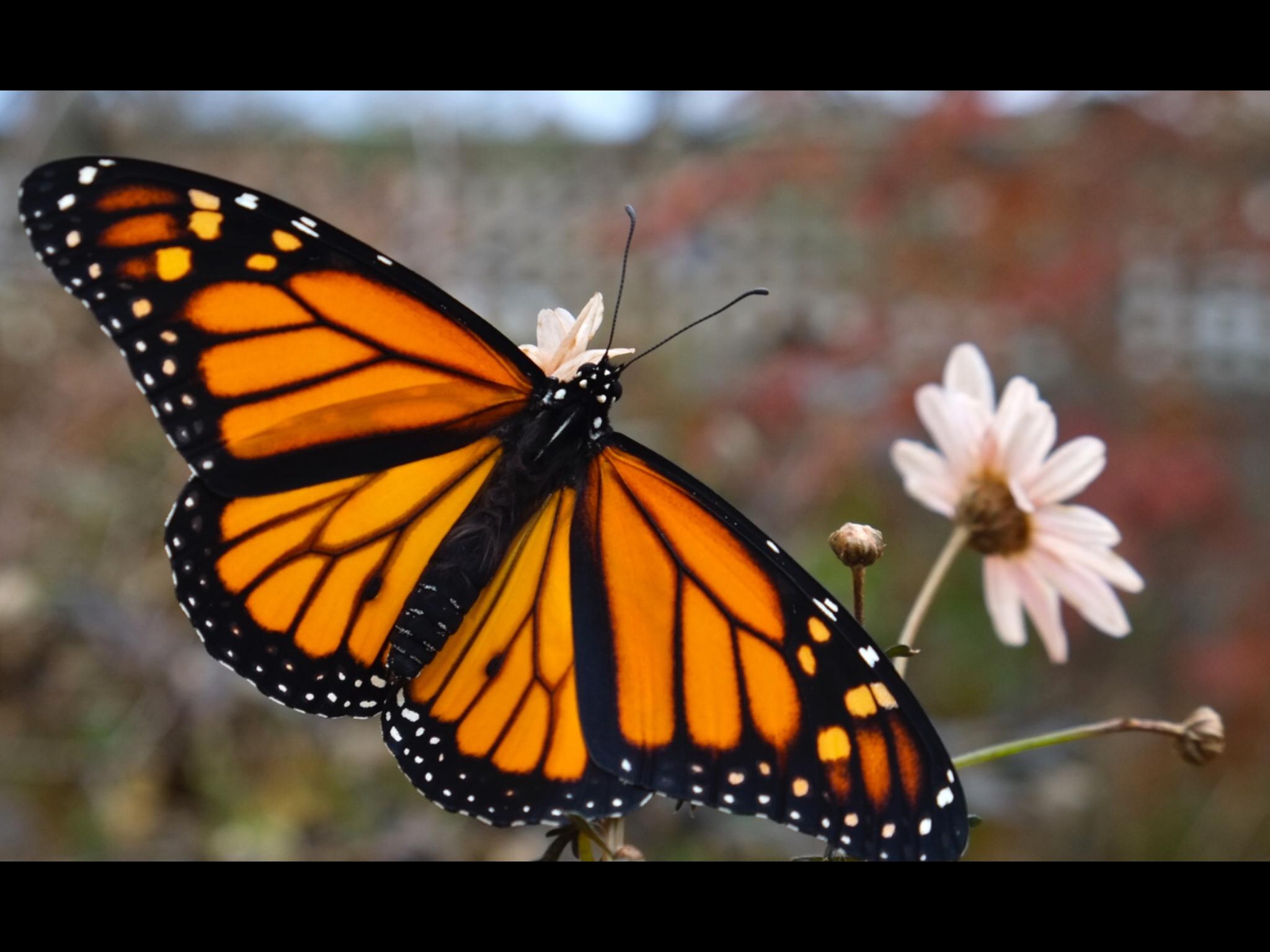 Monarch Butterflies.-5e0974e6-7a45-4e32-9c69-5bec1180b88e.png