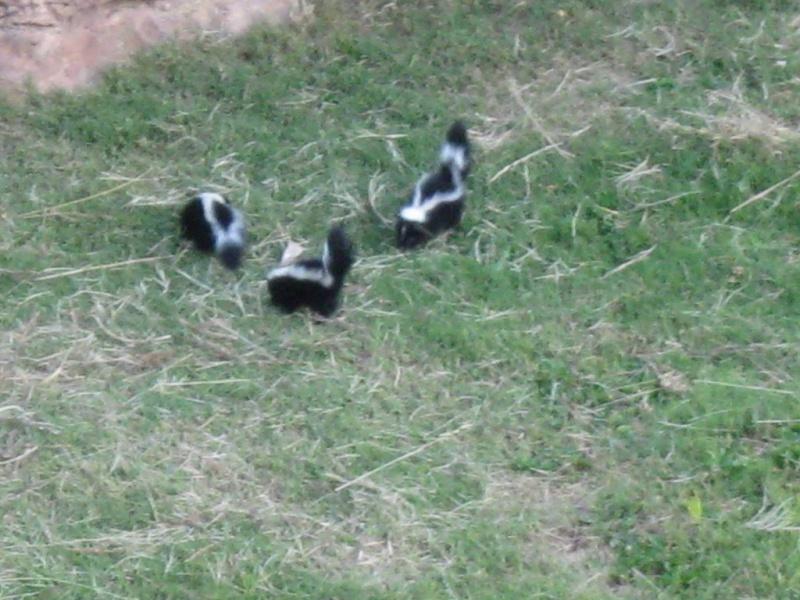 A New generation Of Insect Control-644-skunk-ducks-11-medium-.jpg