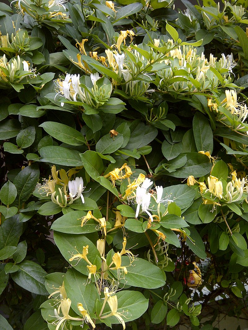 plants you wish you hadn't planted, or let grow-800px-honeysuckle-2.jpg