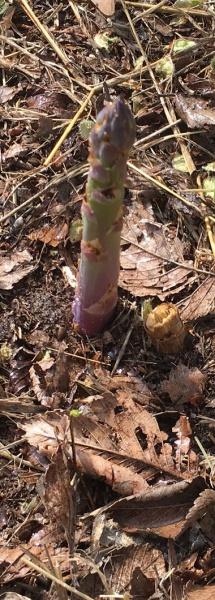 Asparagus Popped up Over Night-asparagus-popped-up-3-21-17.jpg