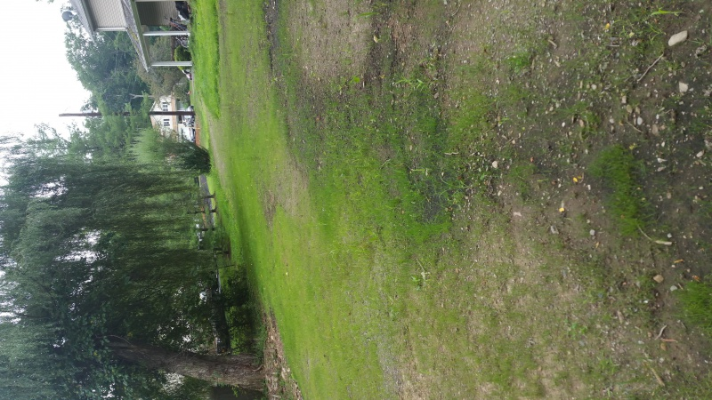 Help- new grass not filling in-back.jpg