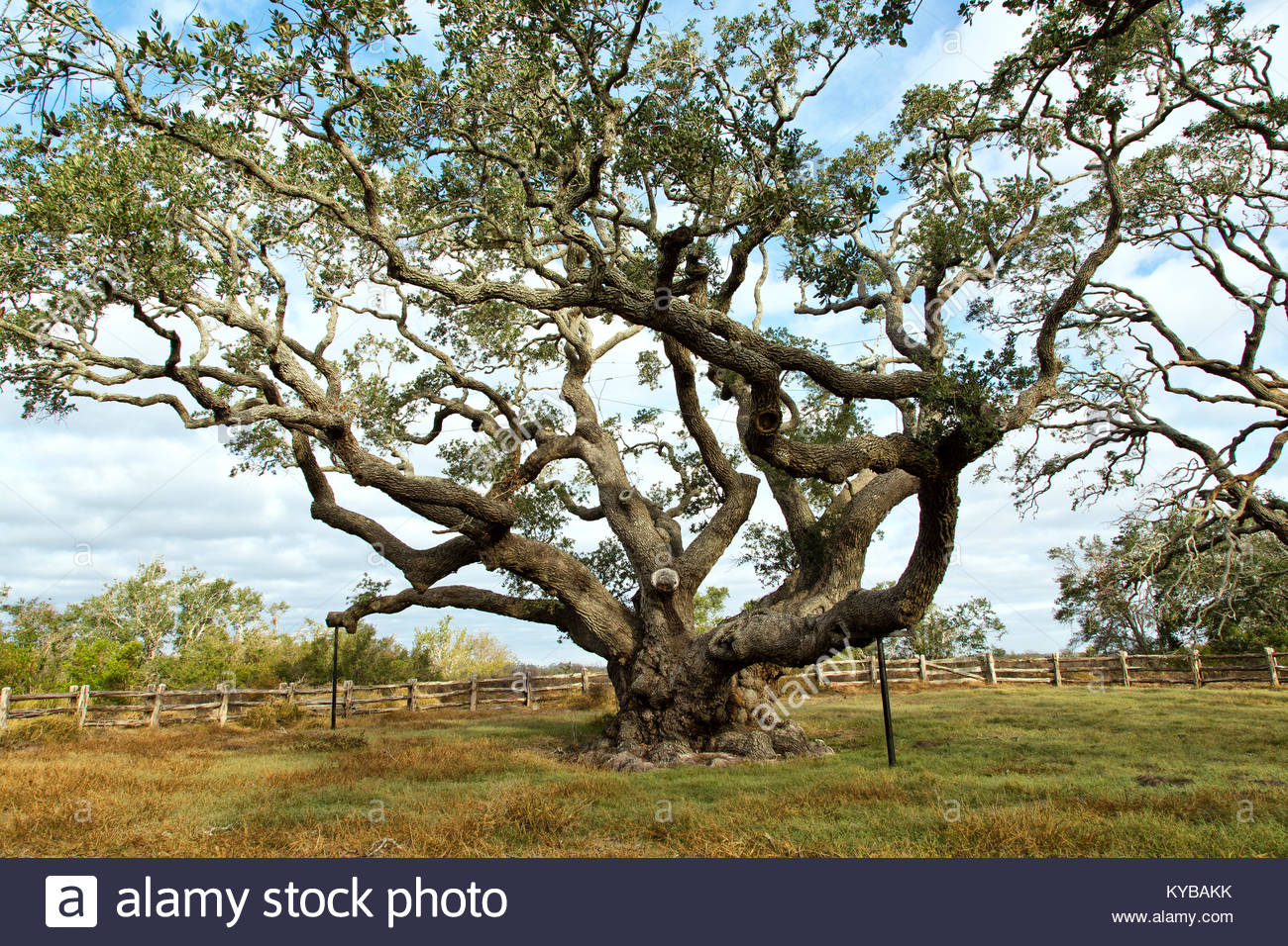 A funny thing-big-tree-southern-live-oak-quercus-virginiana-excess-1000-years-kybakk.jpg