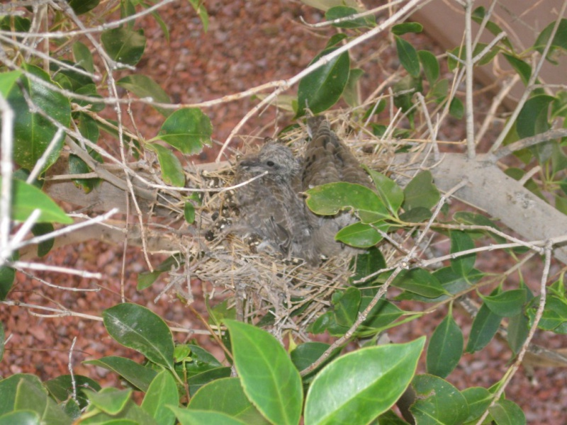 A New generation Of Insect Control-bird-dove-babies-4-medium-.jpg