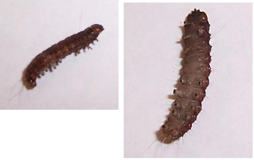 Caterpillars in my house! How do I get rid of them?-buggie.jpg