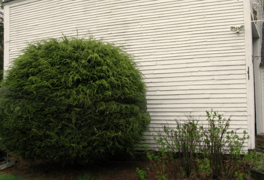 Can this bush be moved?-bush.jpg