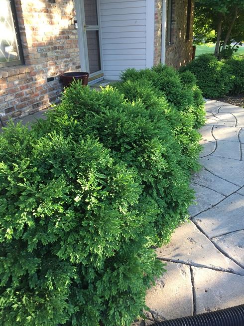 How to trim bushes?-bushes2.jpg