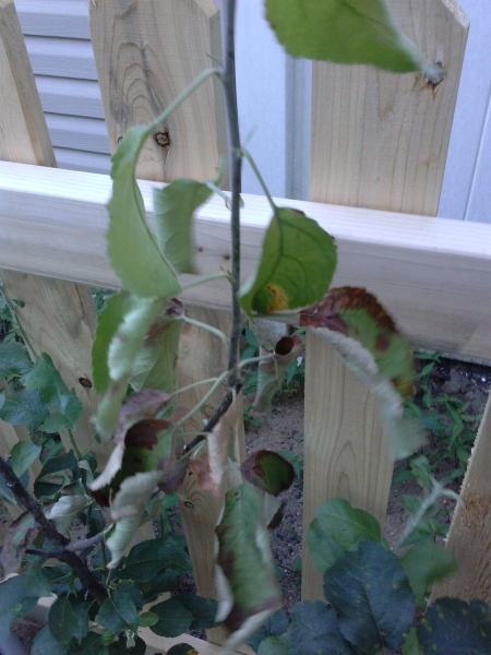 Need help with my fruit trees & bushes-cam00139.jpg