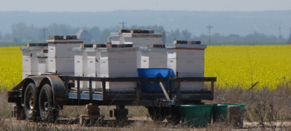 What Does Canola Oil and Honey Have In Common?-canola-bee-hives-.jpg