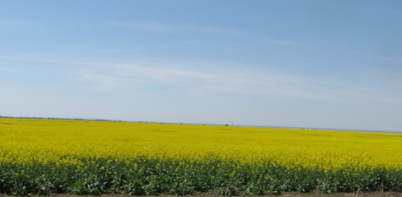 What Does Canola Oil and Honey Have In Common?-canola-blue-sky-4-7-17-.jpg