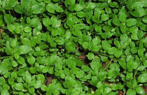 Help identify weed please-capture-chick-weed.jpg