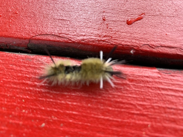what caterpillar is this?-caterpillar.jpg