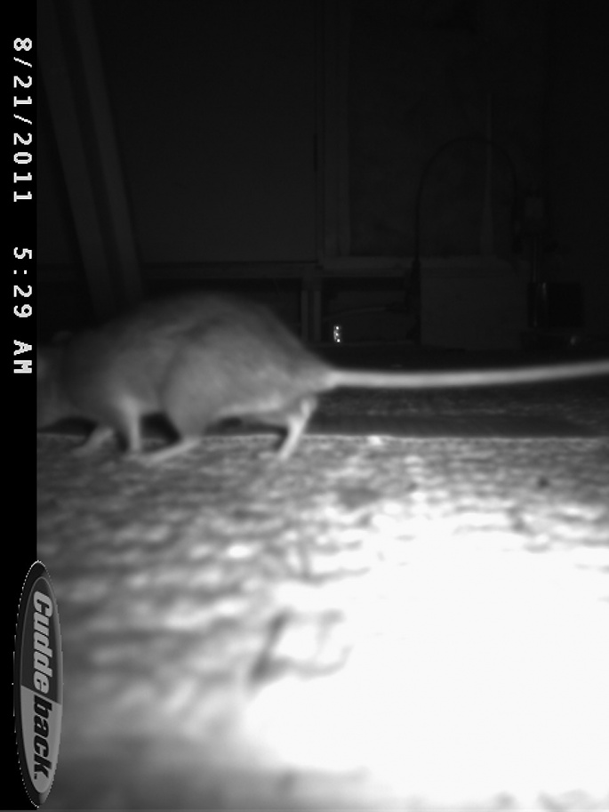 Rats in the attic.  Help.-cdy_0008.jpg