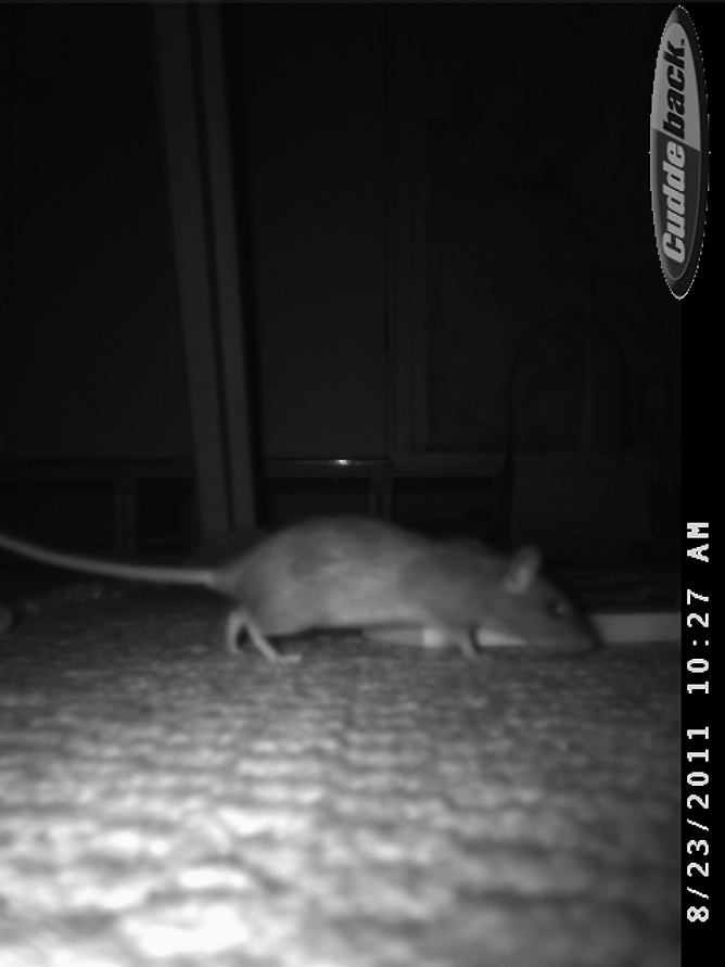 Rats in the attic.  Help.-cdy_0010.jpg