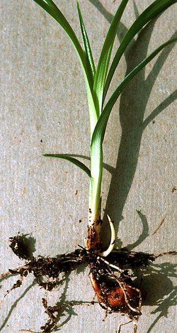 Sod or seeds-chufa.jpg