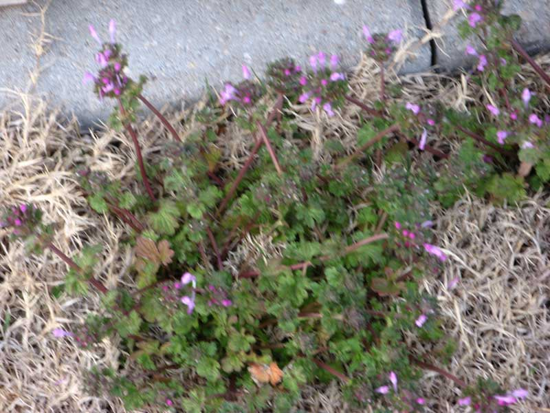 I have weeds in my yard......What should I do?-closeup.jpg