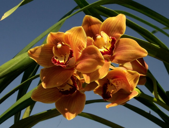 1952 Brick Traditional overhaul-cymbidium-mighty-margaret.jpg