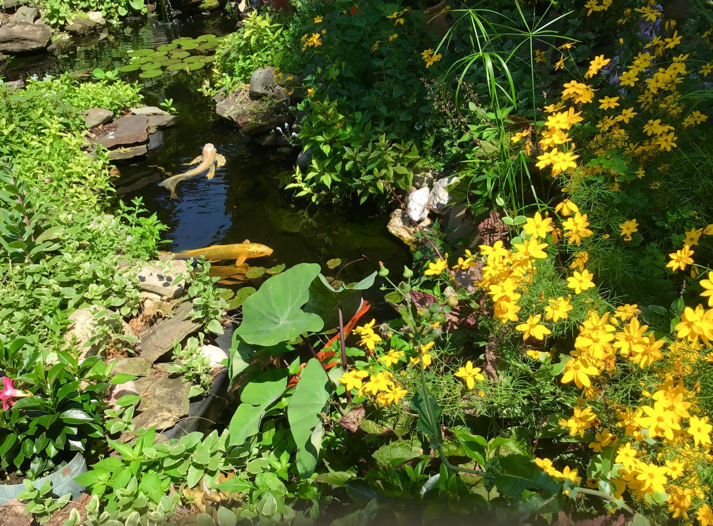 Coreopsis in bloom-d1504419-2206-4634-8994-a563007e5ee1.jpg