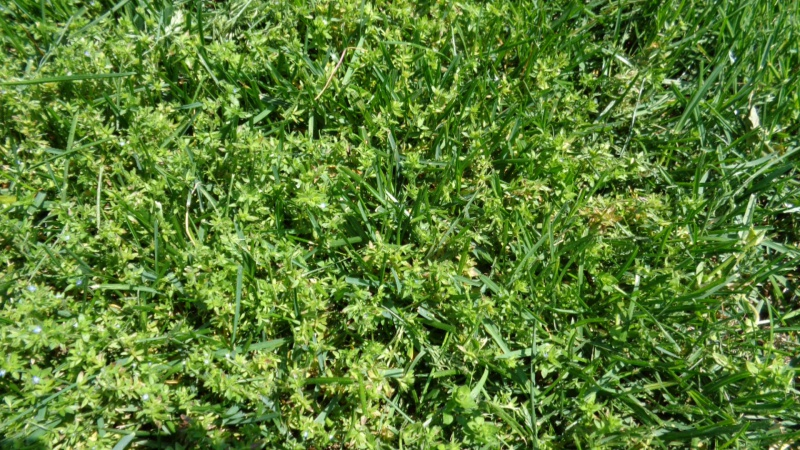 Help identify weed please-dsc00300.jpg