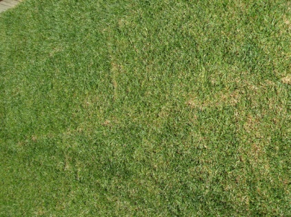 New SOD going brown? Pics Included.-dsc01865.jpg