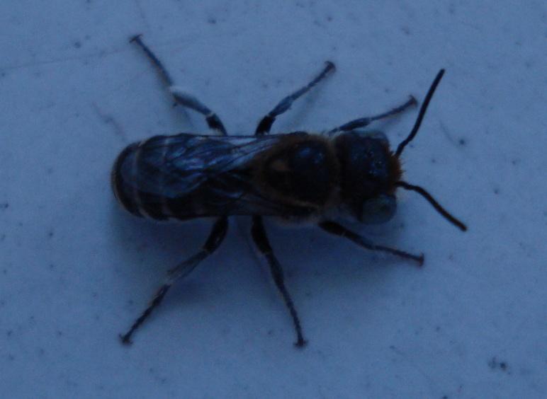 flying insect identification please-dsc02905.jpg