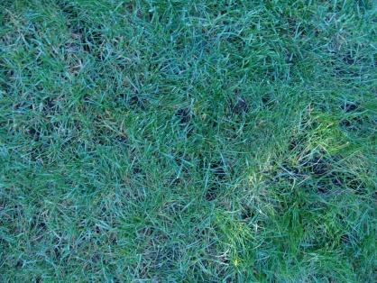 Moldy thatch in lawn?-dsc04286-1000.jpg