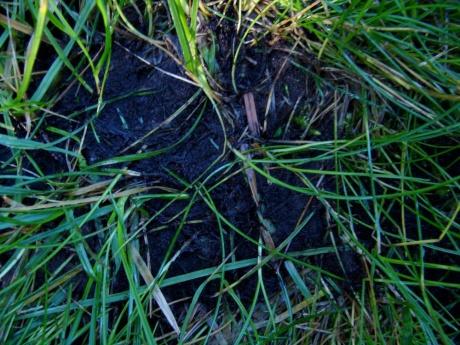 Moldy thatch in lawn?-dsc04287-1000.jpg