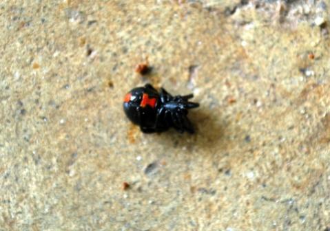 Red-Striped Black Spider-dsc_0048.jpg