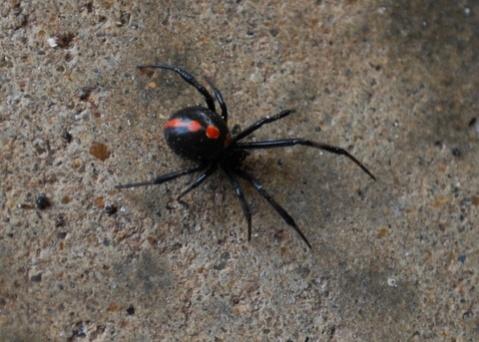 Red-Striped Black Spider-dsc_0060.jpg