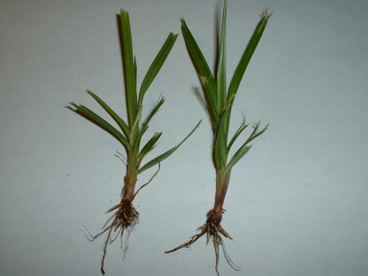 invasive grass taking over Kentucky bluegrass-dscf0001.jpg
